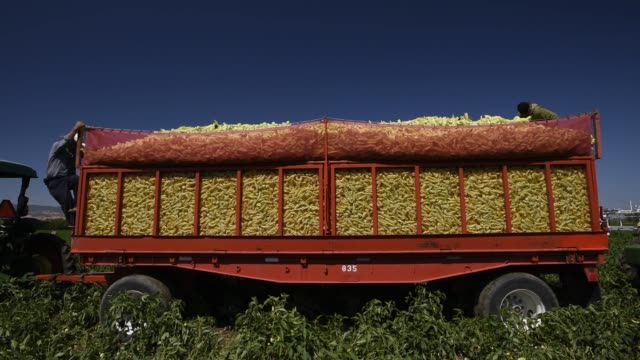 Workers harvest peppers on the Uesugi Farm in Byron California US on Thursday July 16 2015 Workers stand on the back of a truck atop a pile of...