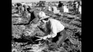 Workers in field loading boxes of carrots / workers sit around resting / mountain man discusses past farming experience Farming crops without...