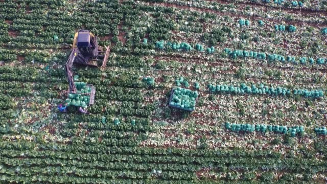 Workers load sacks of napa cabbages onto a truck in a field in this aerial video taken above Taebaek South Korea on Monday Aug 31 Workers harvest...