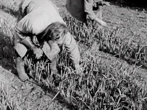Workers pick daffodils at a plant nursery