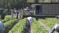 Workers pick fresh strawberries at the Parksdale Farm Market farm in Plant City Florida US Close ups of a workers hand picking strawberries and...