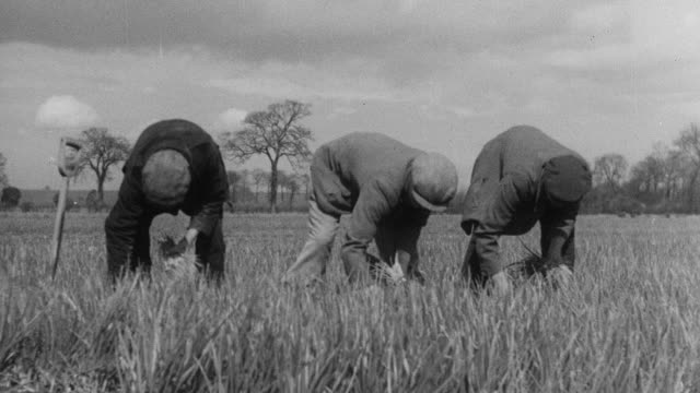 MONTAGE Workers picking spring onions in the fields / England, United Kingdom