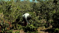 Workers tend to the coffee plants at the Doka Estate coffee farm on March 25 2015 in Alajuela Costa Rica The farm is one of many that produce high...