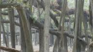 MS TU World largest Banyan tree at Botanical garden / Calcutta, West, Bengal India