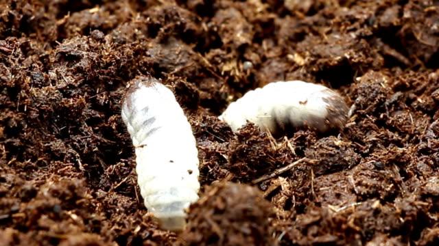 Worm beetles