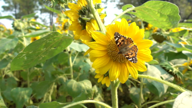 Wuxi autumn sunflower sea,A butterfly is gathering honey