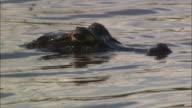 CU Yacare Caiman surfacing in river / Pantanal, Mato Grosso do Sul, Brazil
