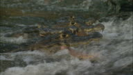 CU Yacare Caimans (Caiman yacare) in rushing water with mouths open waiting to catch fish / Pantanal, Mato Grosso do Sul, Brazil