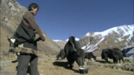 MS Yak caravan resting in the sun / High Himalayas, Upper Dolpo near Tibetan border, Nepal