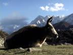 MS, Yak (Bos grunniens) lying in field, snow capped mountains in background, Katmandu, Khumbu- Himalaya, Nepal
