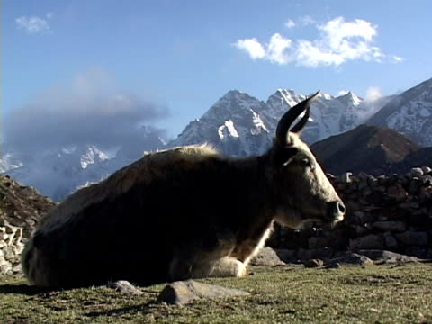 MS, Yak (Bos grunniens) lying in field, snow capped mountains in background, Katmandu, Khumbu- Himalaya, Nepal