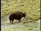 Yak rolls in dust, Tian Shan Mountains, Kyrgyzstan
