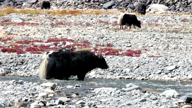 Yaks are grazing in a beautiful natural
