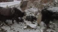 Yaks climb a snowy Tibetan mountain trail.