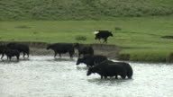yaks cooling off at river in east Tibet