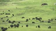 Yaks grazing on grasslands in east Tibet