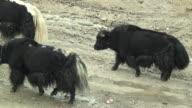 WS Yaks walking up dirt road, Rural, Tibet