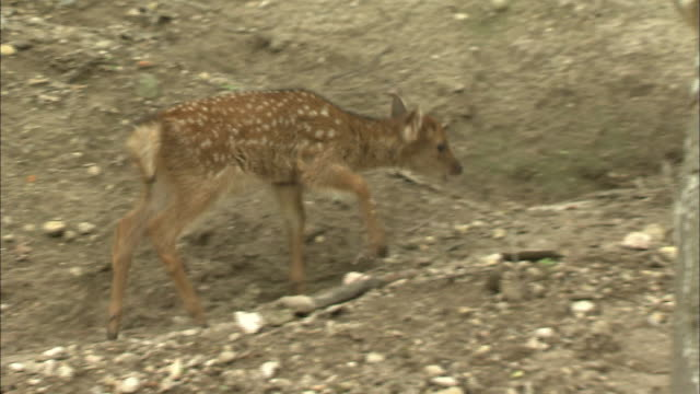 Yakushika deer cross a rocky field in Nagano, Japan.