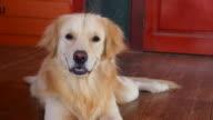 Yawning Golden Retriever Dog