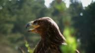 Yawning White Tailed Sea Eagle