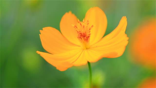 Yellow and orange Cosmos flower in the garden
