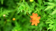 Yellow and orange Cosmos flower is winding in the garden