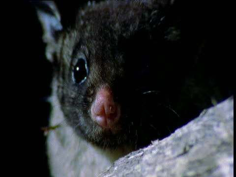 Yellow bellied glider looks around at night, Mount Gambier, South Australia