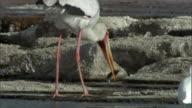 Yellow billed stork (Mycteria ibis) catches tilapia in salt lake, Lake Magadi, Kenya