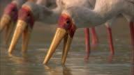 Yellow billed stork (Mycteria ibis) fishing in river, Luangwa, Zambia
