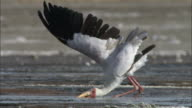 Yellow billed stork (Mycteria ibis) fishing in salt lake, Lake Magadi, Kenya