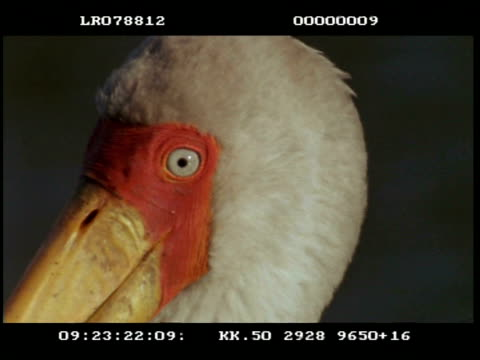 BCU Yellow billed stork head