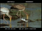 MS Yellow billed stork, juvenile and adult, wading and fishing, joined by spoon billed stork fishing