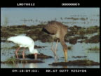 MS Yellow billed stork, juvenile and spoon billed stork, wading and feeding