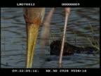 CU Yellow billed stork, juvenile, fishing