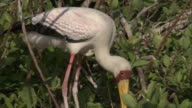 A yellow billed stork stands over its nest as a chick stands up.