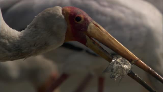 Yellow billed stork (Mycteria ibis) swallows fish prey, Luangwa, Zambia