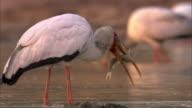 Yellow billed stork (Mycteria ibis) with catfish prey in river, Luangwa, Zambia