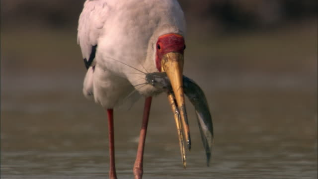 Yellow billed stork (Mycteria ibis) with catfish prey, Luangwa, Zambia