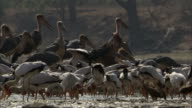 Yellow billed storks (Mycteria ibis) and marabou storks (Leptoptilos crumenifer) fishing in river, Luangwa, Zambia