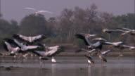 Yellow billed storks (Mycteria ibis) land in river, Luangwa, Zambia
