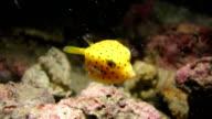 Yellow boxfish swimming in the coral reef