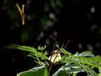 Yellow butterfly flies over and dive-bombs second one perched on foliage