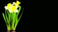 Yellow Daffodil; TIME LAPSE
