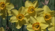 Yellow daffodils sway gently in a breeze.