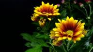Gelbe Gänseblümchen blühenden-American Chysantheme