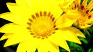 Gelbe Gänseblümchen erblühen