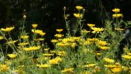 Giallo Margherita campo