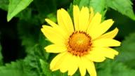 Yellow Gänseblümchen flower close up