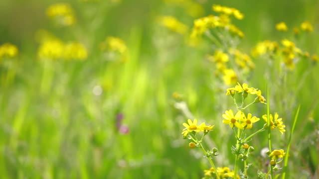 Gelbe Gänseblümchen und Wildblumen im wind