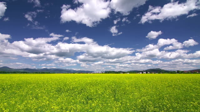 Yellow field of oilseed